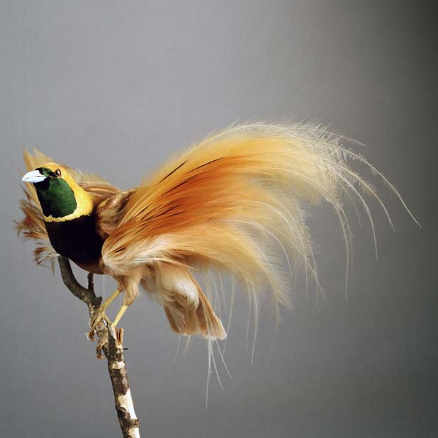 a bird of paradise mounted