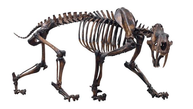 Sabre-toothed cat skeleton.