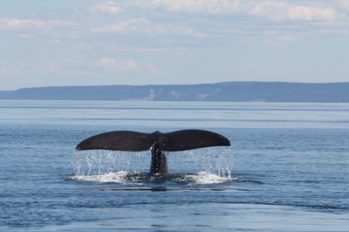 Fluke of right whale above ocean surface diving