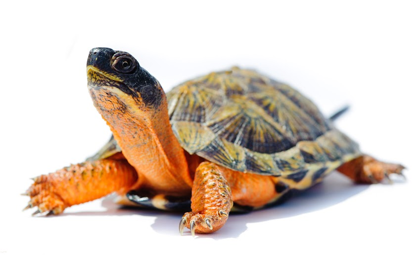 Photo of a Wood Turtle, considered a species at risk in Ontario.