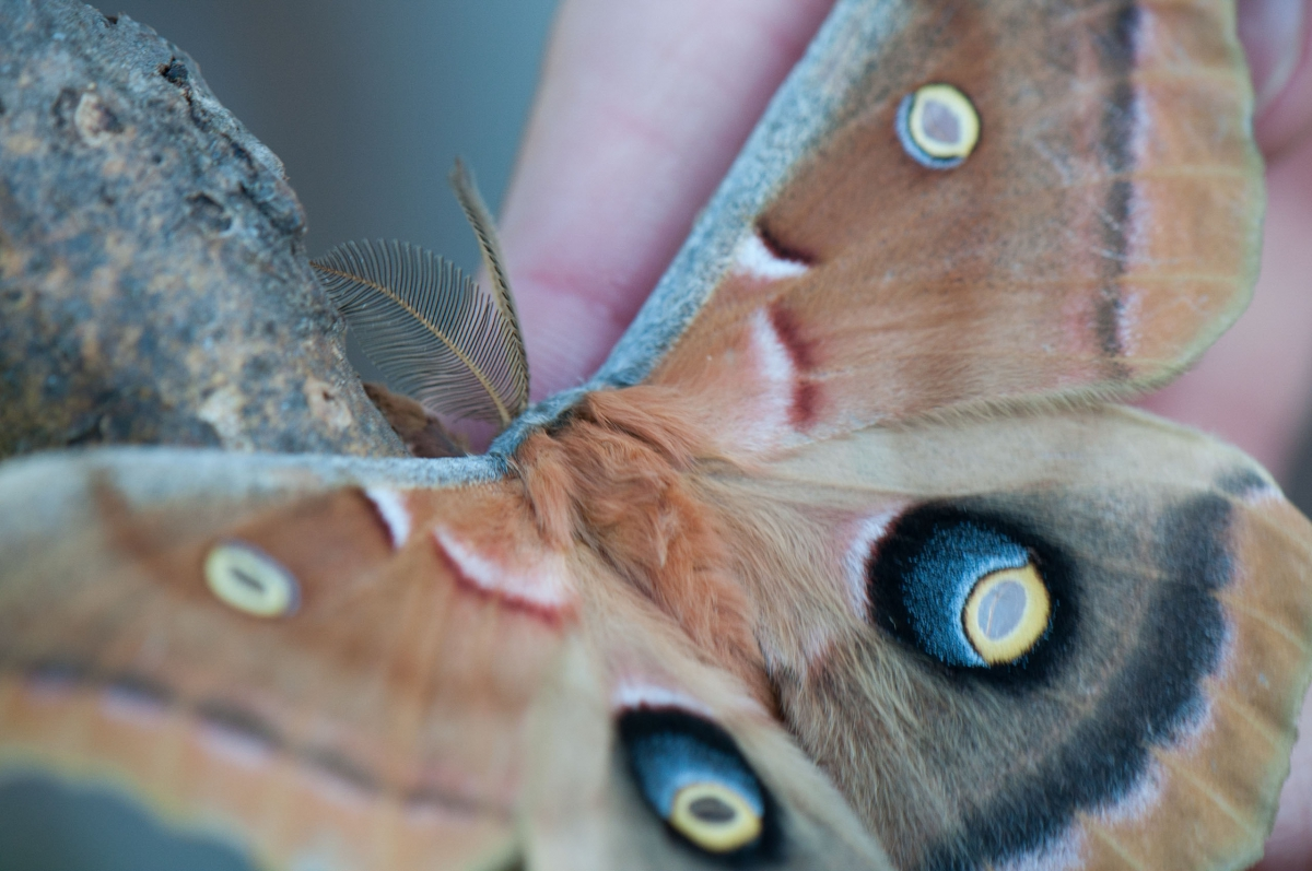 snapshots of biodiversity a photo essay on the ontario  a close up photo of a large moth on a volunteer s hand