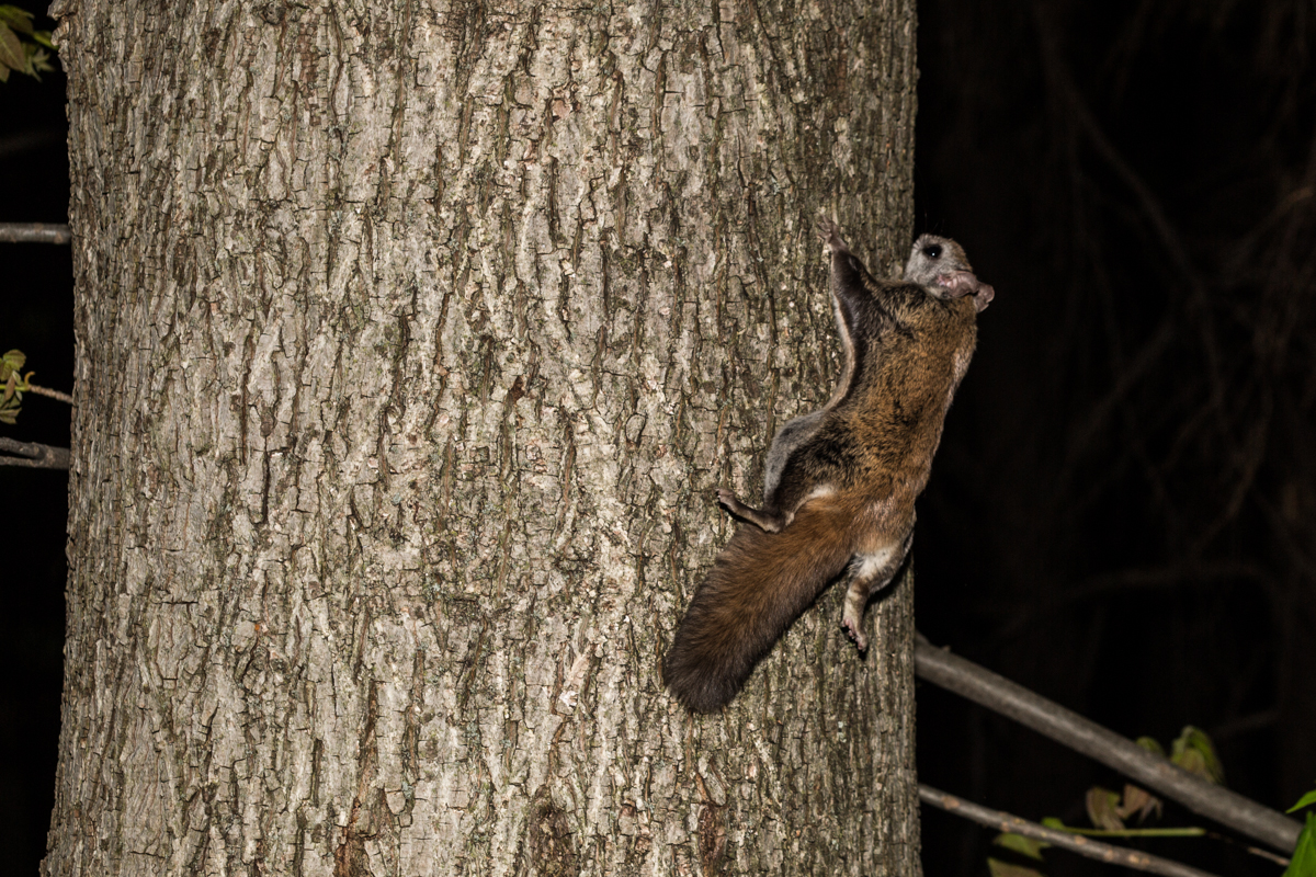 A flying squirrel clings to the side of a tree