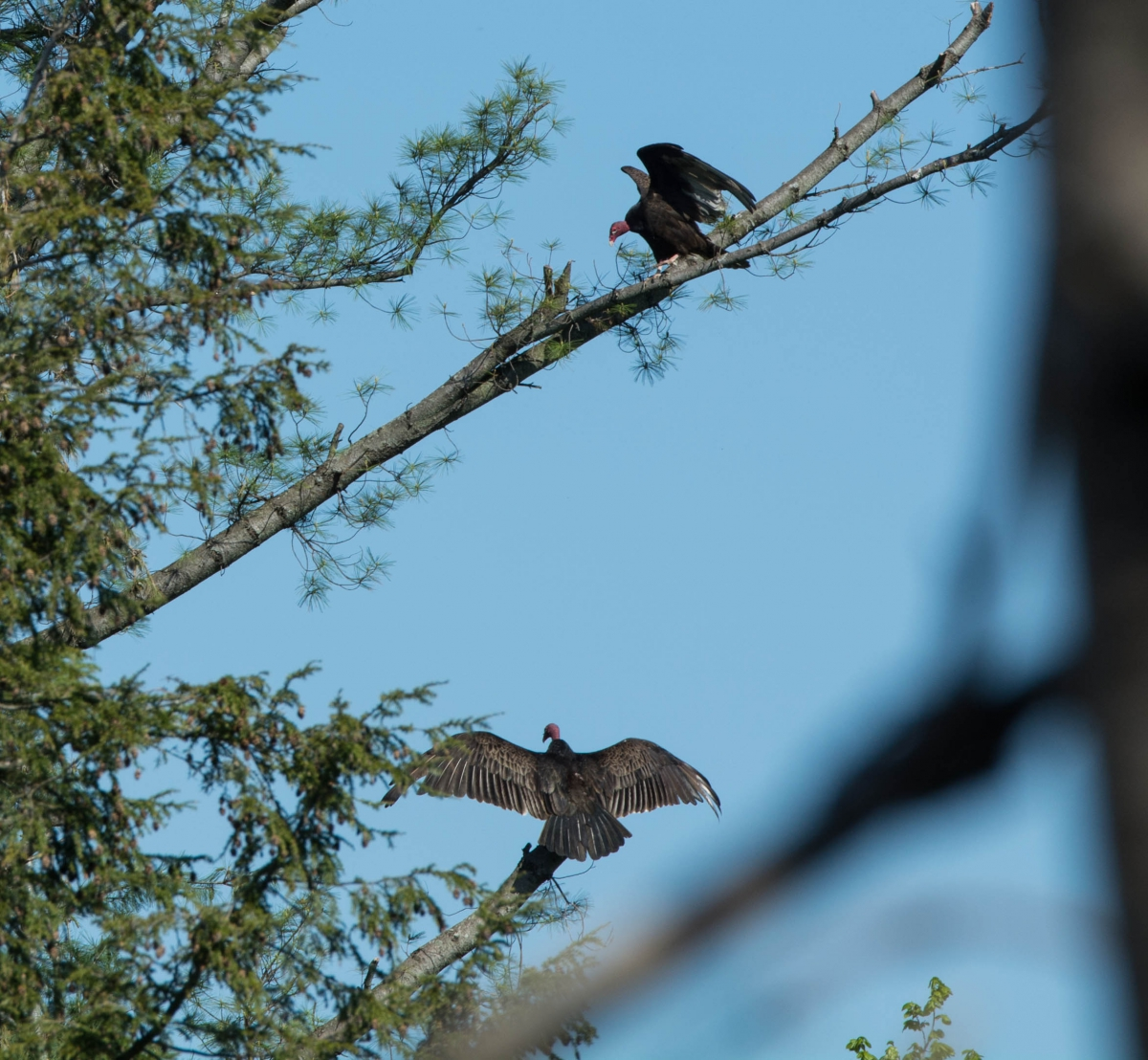 Two Turkey vultures spread their wings while perched near a tree top.