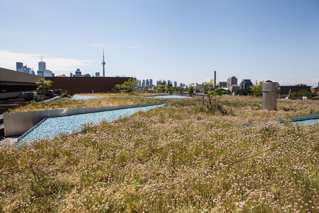 a wide view of the chives covering the ROM green roof, with the Toronto skyline in the distance