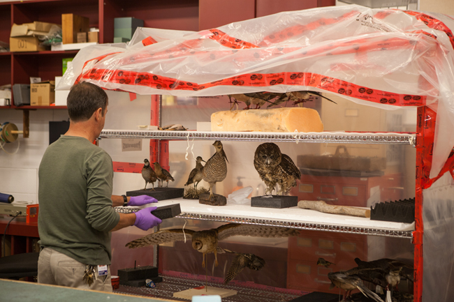 ROM Exhibit Preparator Bernard sets up the stuffed birds for the Empty Skies: the Passenger Pigeon Legacy exhibit
