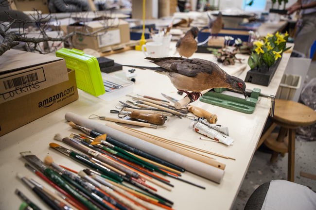 A stuffed passenger pigeon specimen sits on a prep table in the ROM awaiting final touches before being added to the special exhibit