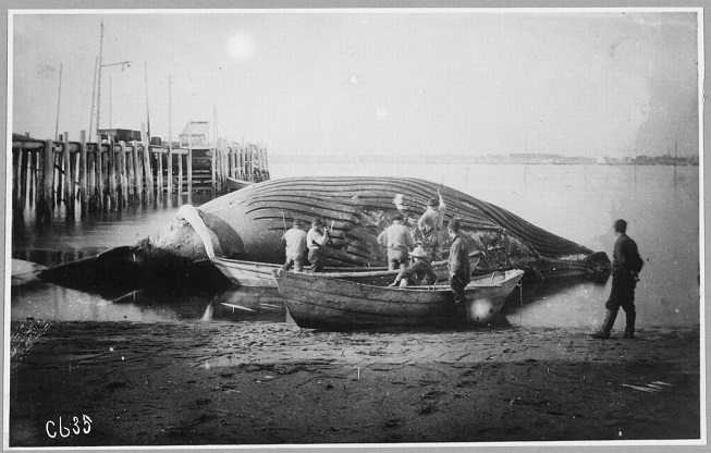 Historic black and white photograph of deceased whale on a beach, a few people stand on boats next to whale.