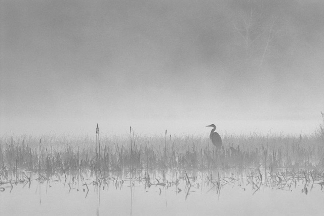Great Blue Heron on a misty morning, Algonquin Park, Ontario. Photo by Peter Bowers