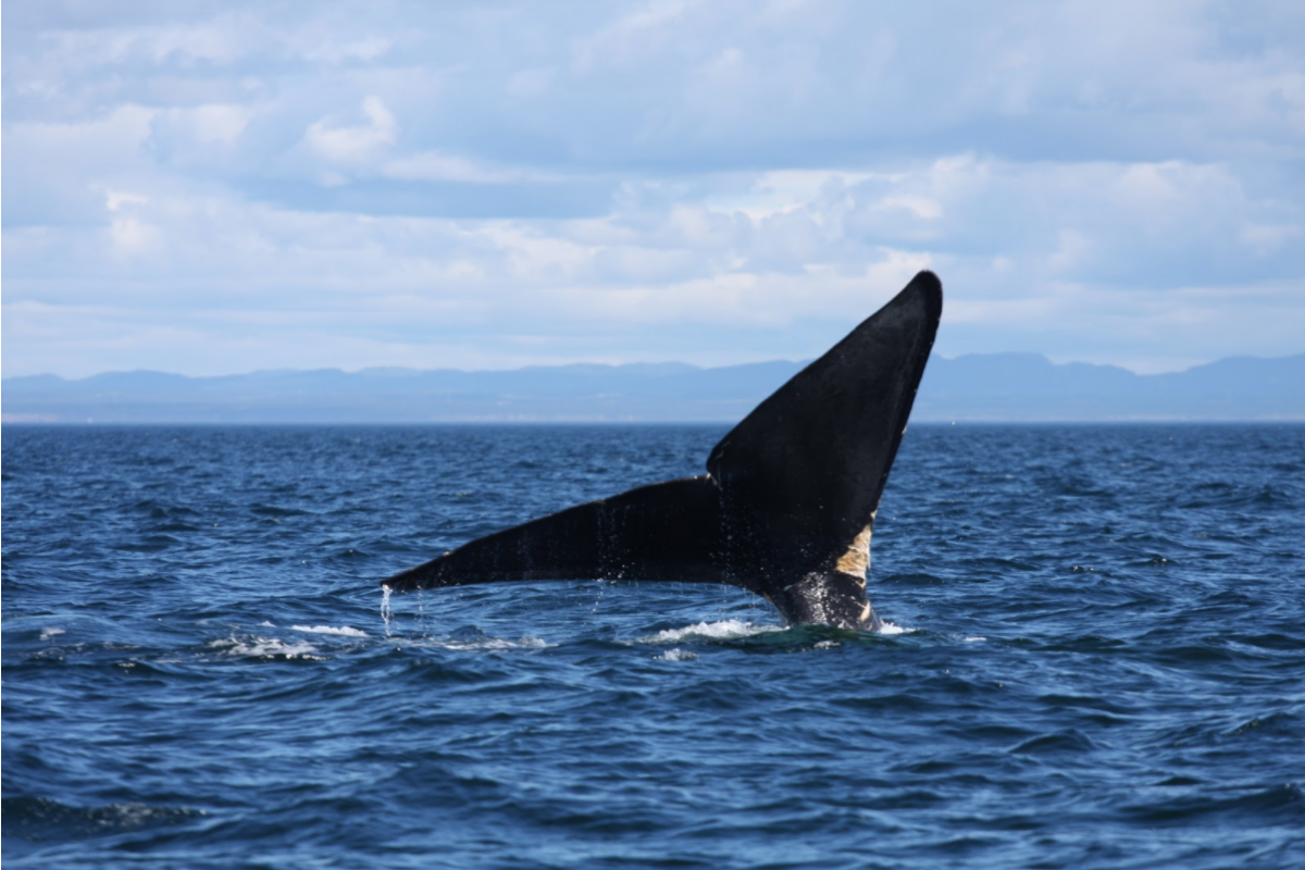 Right whale fluke protruding out of ocean surface as it dives
