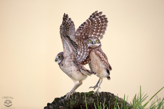 Burrowing owl fun, Cape Coral, Florida. Photo by Megan Lorenz