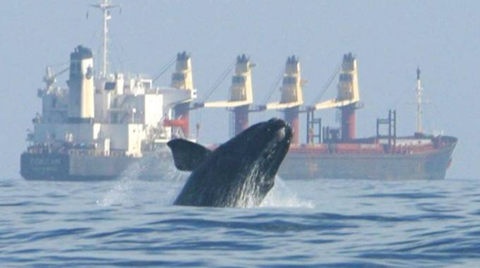 right whale head and fin breaking out above ocean surface, large cargo ship in background