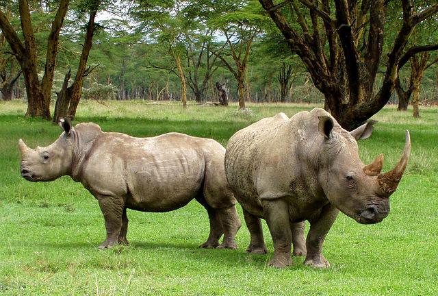 A pair of rhinoceros on a grassy plain.