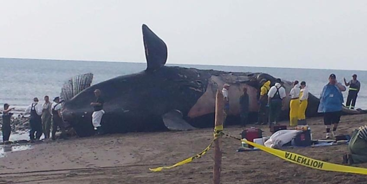 Right whale carcass on beach while necropsy is conducted by researchers