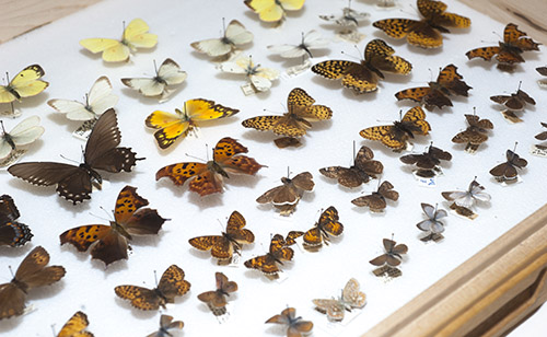 tray of butterflies