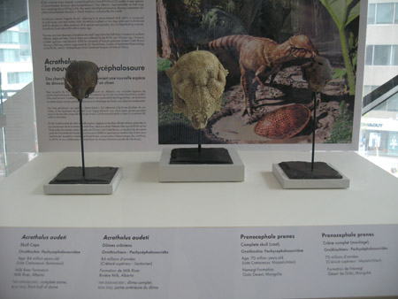 Acrotholus fossils on display at the ROM