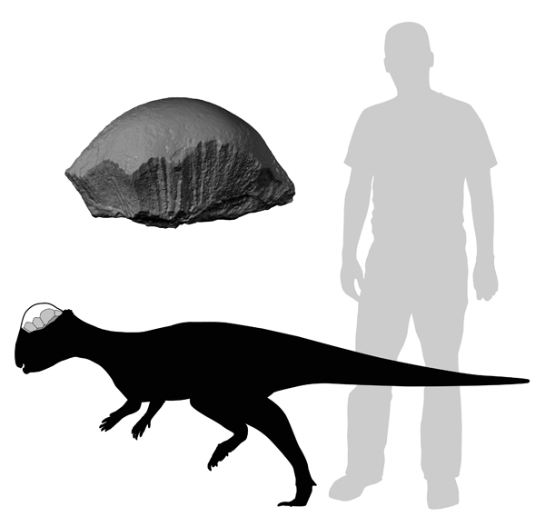 Acrotholus relative to size of humans. Illustration © ROM