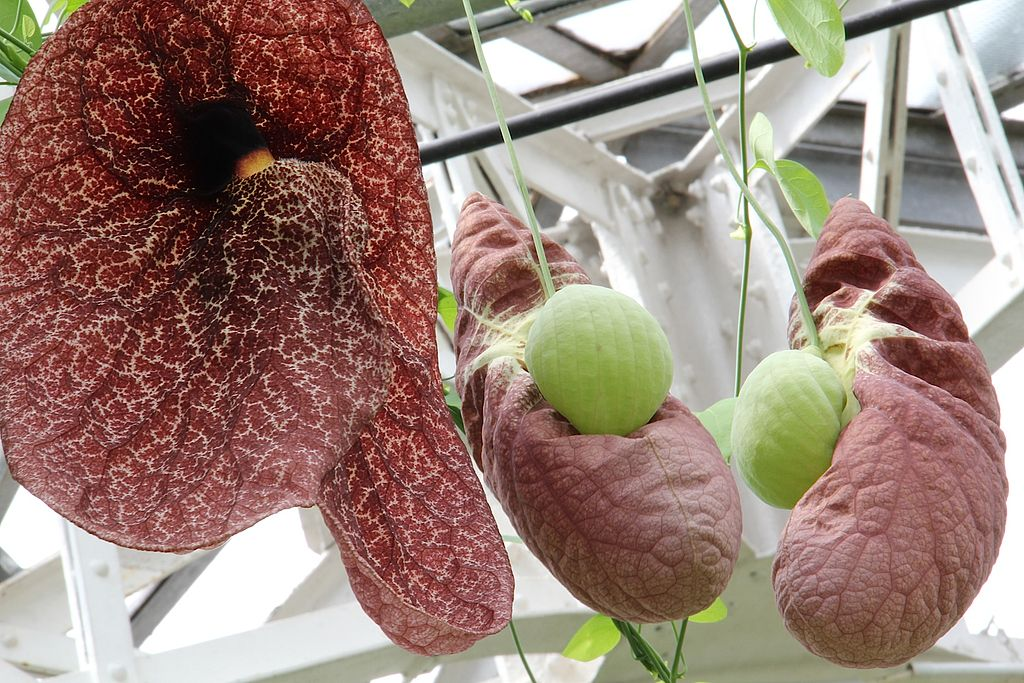 Maroon flowers of Aristolochia gigantea (Brazilian Dutchman's pipe)