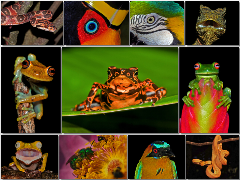 A photo collage of many birghtly colored birds, amphibians, reptiles and insects.