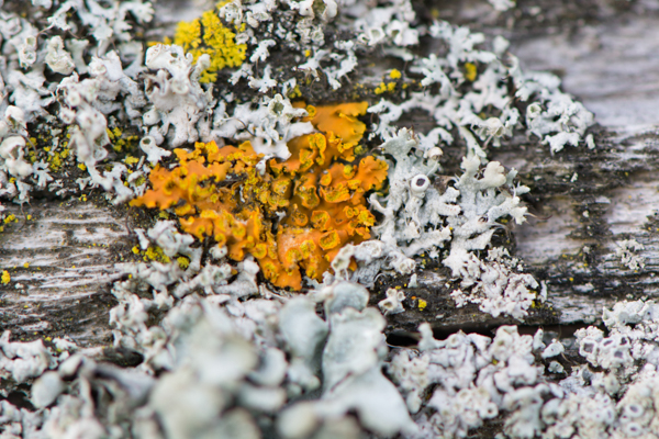 The bright colour of Xanthoria parietina shines like the sun amongst the common greys and muted greens of other lichens. Photo by Austin Miller