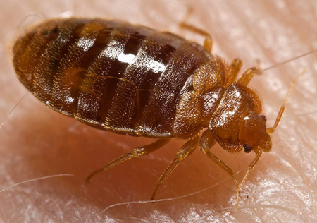 Bed bug feeding on human