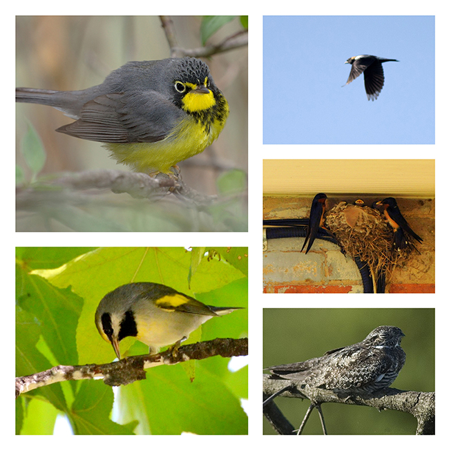 An collage of five different birds that are species-at-risk in Ontario.