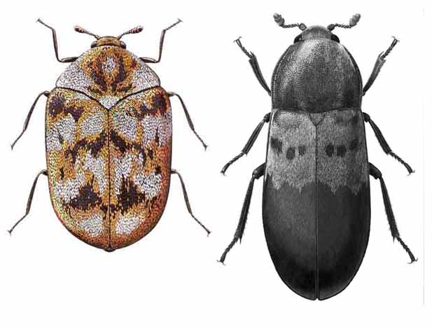 carpet_beetles.combined.jpg