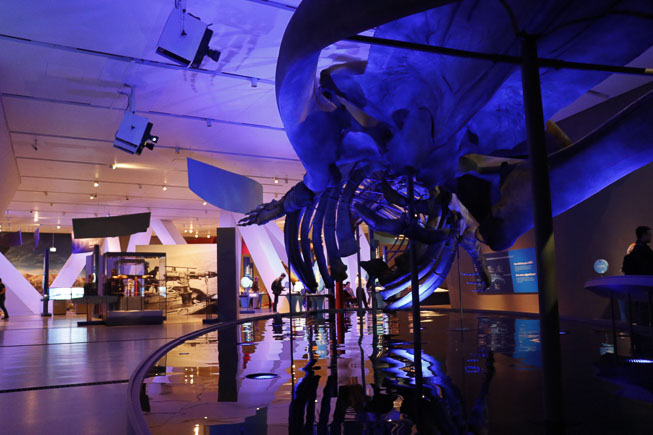 Photo of Blue's skeleton in the Out of the Depths: The Blue Whale Story Exhibition space. Photo by Rachel Brown