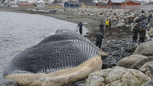 The ROM-lead team approaches the carcass of a dead blue whale lying near the town of Trout River, NL. | Image by Jacqueline Waters © Royal Ontario Museum