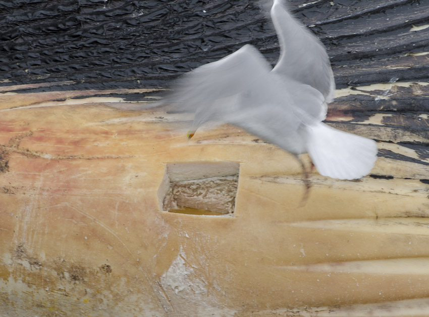 A gull hovers near where a hole has been carved in the side of the whale carcass