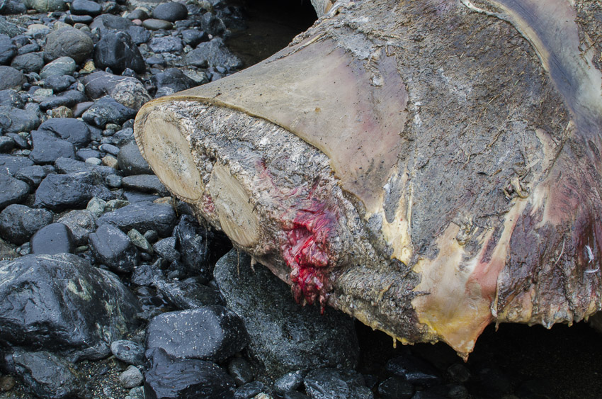 A close up shot of the stump where the animals right flipper has been sawed off.