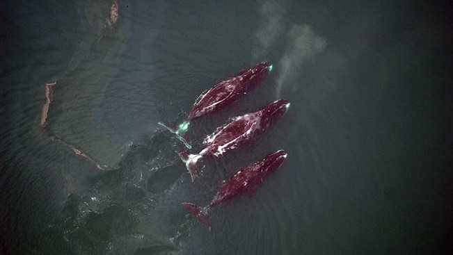 Aerial view of three bowhead whales at the surface of the ocean, swimming
