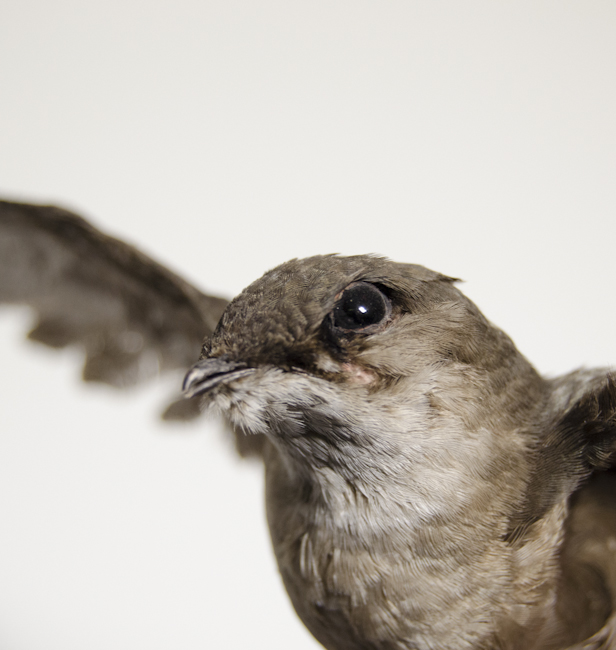 closeup photo of the face of a chimney swift