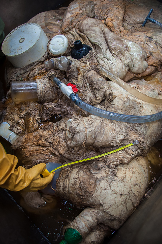 From buckets to pop bottles to a plunger - different tools were needed to plug the vessels to ensure the heart could be fixed in formaldehyde. Photo by Sam Rose Phillips