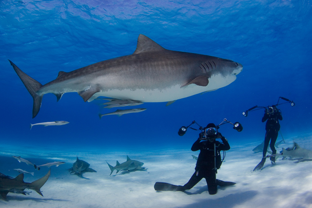 David Doubilet and Jennifer Hayes on assignment with tiger sharks in the Bahama Islands.
