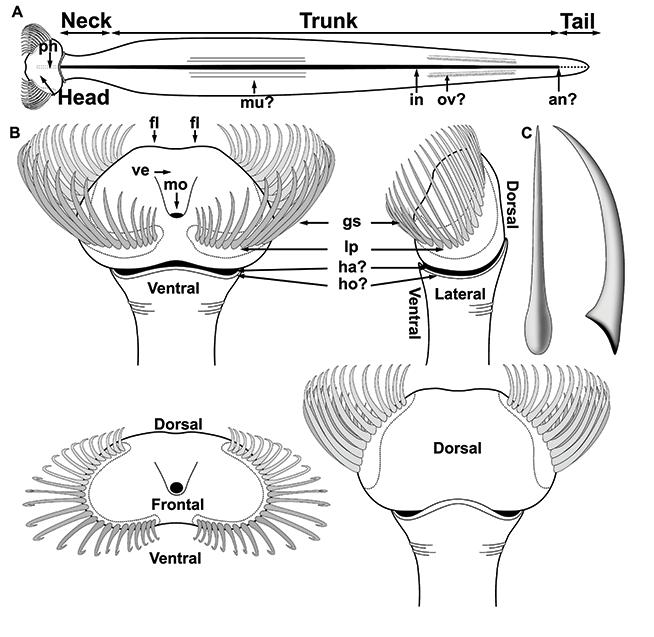 Diagram of an arrow worm
