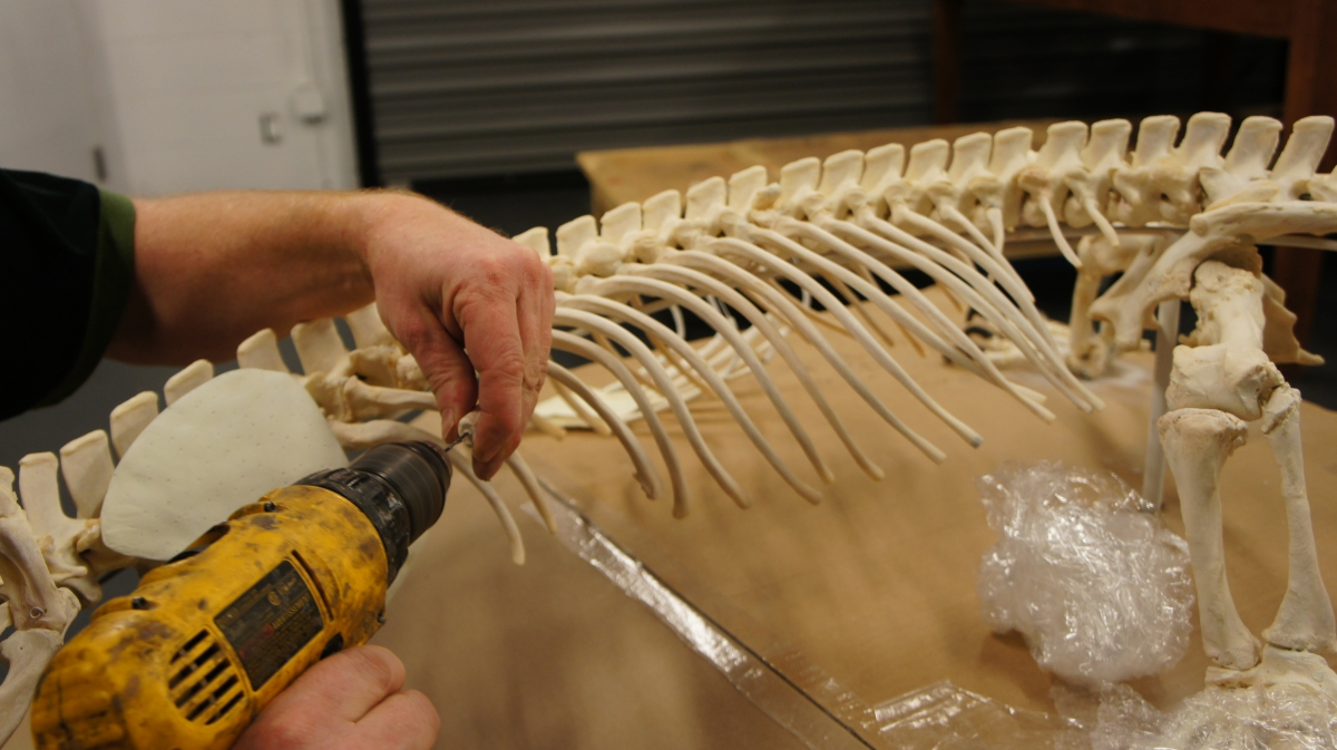 A drill is used to prepare the ribs for attachment to the sternum