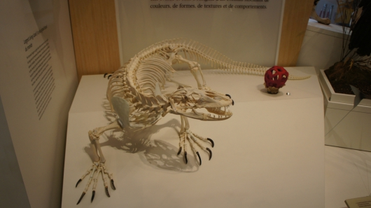 A real Komodo Dragon Skeleton on display in the Schad Gallery