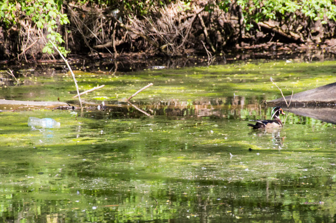 A male wood duck floats alongside a plastic water bottle in Toronto's High Park. Photo credit: Cristina Bergman