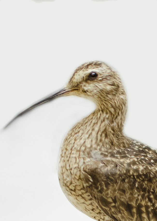 closeup of an eskimo curlew, an extinct shorebird with a long, curved beak, similar to a sandpiper