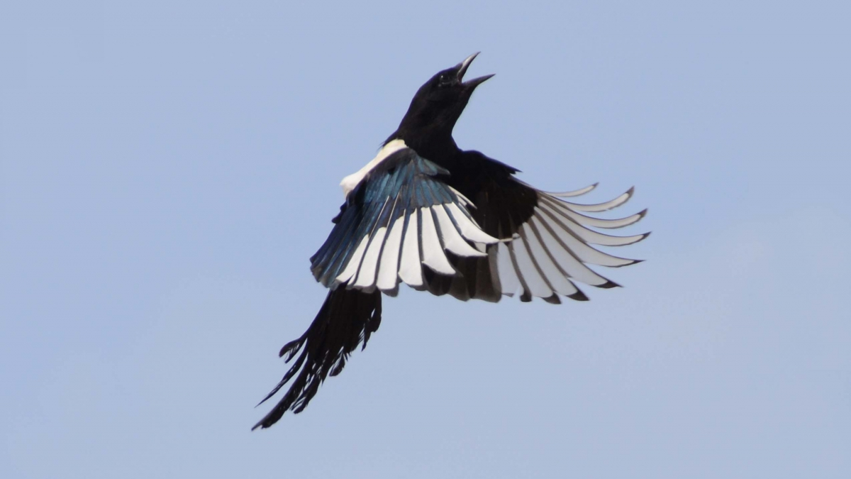 Eurasian Magpie in flight commonly seen in North China.