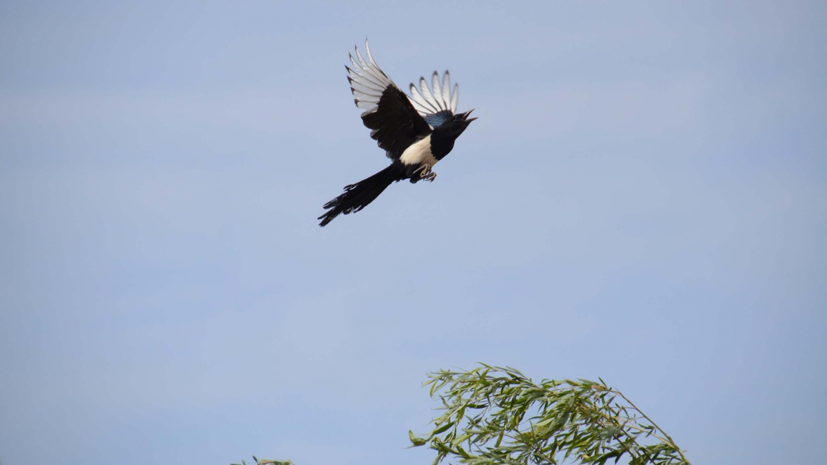 A magpie flying away after chattering