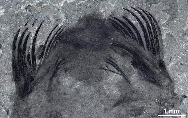 Photo of an arrow worm fossil