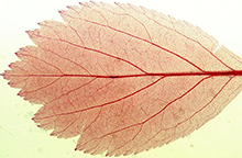 Photograph of red leaf