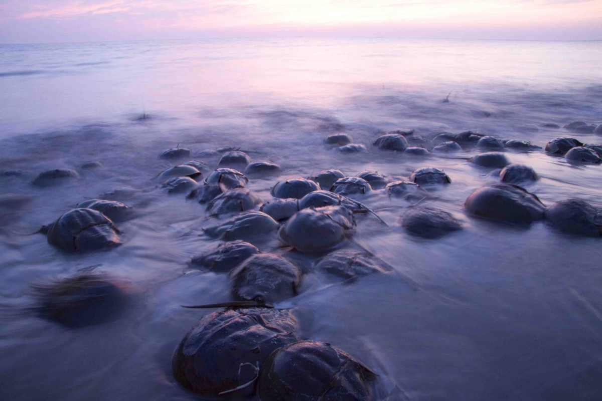 Image of horseshoe crabs spawning in Delaware Bay