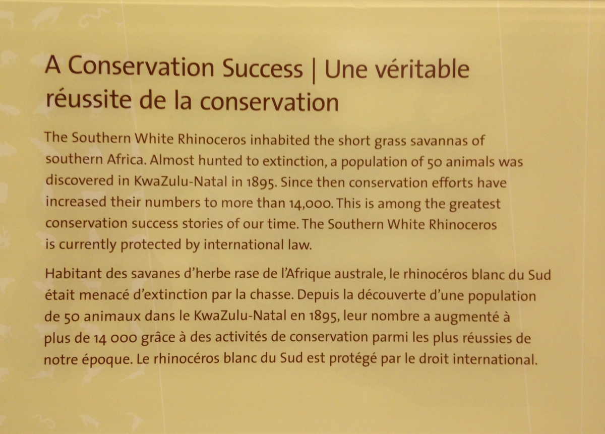A museum text label, about Bull the southern white rhino