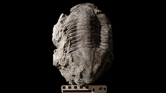 Trilobite fossil on black background.
