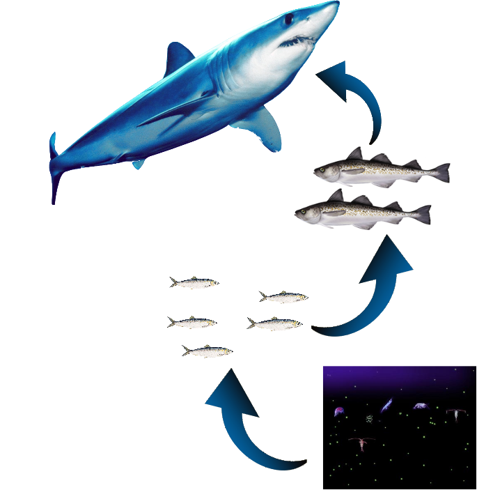 Mako Shark Food Chain