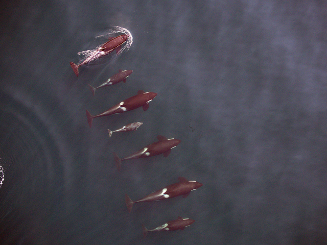 A pod of killer whales as seen from a drone perspective from 90 feet above. Credit: NOAA Fisheries, Vancouver Aquarium
