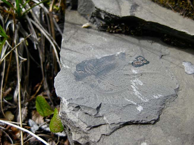 One of the first fossils discovered on talus slopes, a weathered specimen of Marrella splendens, a species better known from the Burgess Shale (image courtesy of Michael Streng)