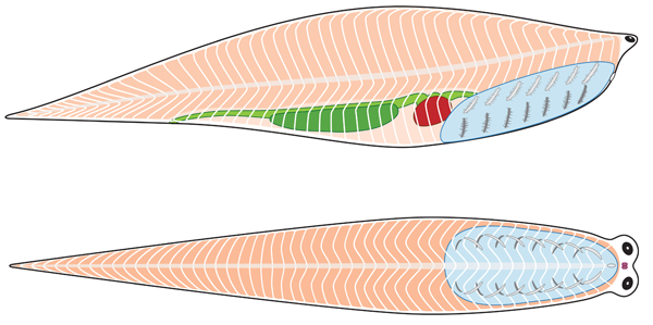 Diagram of Metaspriggina anatomy